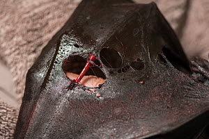 Damaged wing of Grey-headed Flying-fox (Pteropus poliocephalus) - the result of being caught in barbed-wire that surrounded a school. This bat had to be euthanised. Albert Park, Victoria, Australia. M...  -  Doug Gimesy