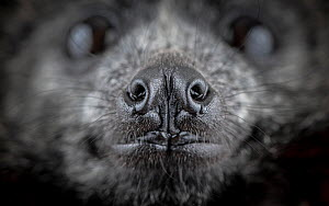 Close up of the nose of a rescued Grey-headed Flying-fox (Pteropus poliocephalus). Gardenvale, Victoria, Australia. Cropped.  -  Doug Gimesy