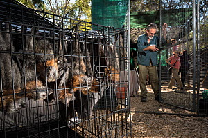 Grey-headed flying-foxes (Pteropus poliocephalus) rescued bats waiting to move in to a soft release cage being built by Parks Victoria and Friends of Bats and Bushcare. Yarra Bend Park, Fairfield, Vic...  -  Doug Gimesy
