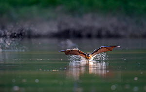Grey-headed flying-fox (Pteropus poliocephalus) in flight, taking a flying high speed 'belly-dip' into the Yarra river at the end of a very hot day. They do this to wet their fur which both acts as a...  -  Doug Gimesy