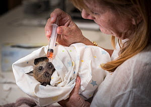 Animal carer Bev Brown caring for a recently rescued Grey-headed flying-fox (Pteropus poliocephalus) that had become entangled in barbed wire that surrounded a factory. Black Rock, Victoria, Australia...  -  Doug Gimesy