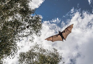 Grey-headed flying-fox (Pteropus poliocephalus) in flight above Bellbird picnic ground having just been released after weeks of home care. It was brought into care after it had become entangled in ina...  -  Doug Gimesy