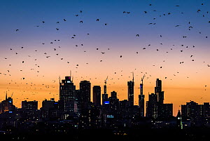 Grey-headed flying-foxes (Pteropus poliocephalus) fly out over Melbourne city skyline looking for food during a summer sunset. Kew, Victoria, Australia. March 2017. - Doug Gimesy