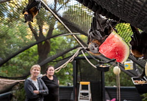 Rescued Grey-headed flying-fox (Pteropus poliocephalus) hanging from the roof of its enclosure whilst eating watermelon at the Fly-By-Night Bat Clinic, Olinda, Victoria, Australia. February, 2018. Mod...  -  Doug Gimesy