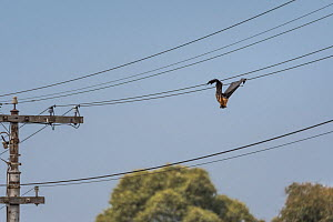 Grey-headed flying-fox (Pteropus poliocephalus) hanging dead between two power lines, killed by electrocution. Elwood, Victoria, Australia. March.  -  Doug Gimesy
