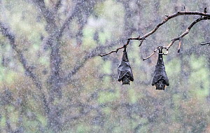 Two Grey-headed Flying-foxes (Pteropus poliocephalus) hanging from a branch using their wings to keep warm and protect its self from the rain during a summer shower. Yarra Bend Park, Kew, Victoria, Au...  -  Doug Gimesy