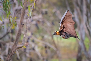 Grey-headed flying foxes (Pteropus poliocephalus) carrying her pup attached to a teat. Yarra Bend Park. Kew, Victoria, Australia.  -  Doug Gimesy