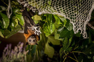 Grey-headed flying-fox (Pteropus poliocephalus) hanging entangled in urban fruit-tree netting. Despite being rescued, the netting had cut the circulation to its wing for too long and so the bat had to...  -  Doug Gimesy