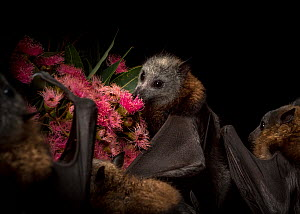 Rescued and orphaned Grey-headed flying-fox (Pteropus poliocephalus) in captivity, feeds on the pollen of a flowering native eucalyptus tree. Fly By Night Bat clinic, Olinda, Victoria, Australia.  -  Doug Gimesy
