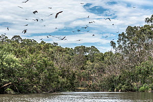 Grey-headed flying-foxes (Pteropus poliocephalus) fly around their roosting site. Yarra Bend Park, Kew, Victoria, Australia. February, 2017  -  Doug Gimesy