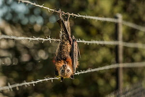 Grey-headed flying-fox (Pteropus poliocephalus), hanging entangled in bared-wire that surrounds a factory which also had fruit trees. Clayton, Victoria, Australia.  -  Doug Gimesy