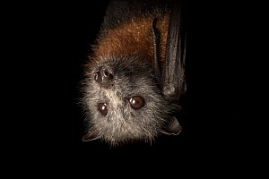 Grey-headed Flying-foxes (Pteropus poliocephalus) female hanging from the mesh of its enclosure. This enclosure will be her home for several months until she is old and strong enough to be released. F...  -  Doug Gimesy