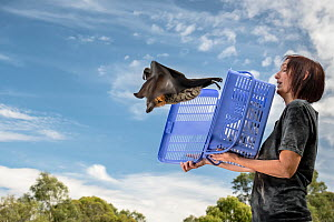 Rescued Grey-headed Flying-fox (Pteropus poliocephalus) named Olive is released back into his Melbourne colony by wildlife carer Treycee Baker. Yarra Bend Park, Kew, Victoria, Australia. Editorial use...  -  Doug Gimesy