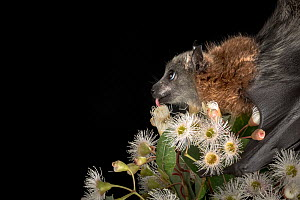 Rescued and orphaned Grey-headed Flying-fox (Pteropus poliocephalus) in captivity, feeds on the nectar of a flowering native eucalyptus tree. Black Rock, Victoria, Australia  -  Doug Gimesy