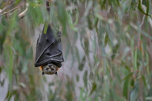 Grey-headed flying-fox (Pteropus poliocephalus) hangs from a branch at a colony next to the Yarra River, Yarra Bend Park, Kew, Victoria, Australia.  -  Doug Gimesy