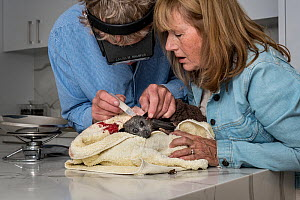 Wildlife bat rescuers, Dr Paul Smith and Beverly Brown, treat a Grey-headed flying-fox (Pteropus poliocephalus) in their home that had been attacked by a dog after being caught in inappropriate fruit-...  -  Doug Gimesy