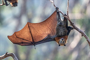 Grey-headed flying-fox (Pteropus poliocephalus) hanging from a branch with one wing spread, Yarra Bend Park, Kew, Victoria, Australia.  -  Doug Gimesy