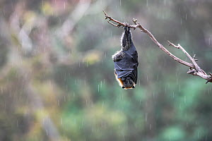 Grey-headed flying-fox (Pteropus poliocephalus) hanging from a branch using its wings to keep warm and protect its self from the rain during a summer shower. Yarra Bend Park, Kew, Victoria, Australia. - Doug Gimesy