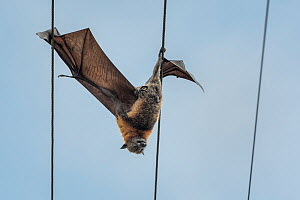 Grey-headed flying-fox (Pteropus poliocephalus) hangs dead between two power lines, killed by electrocution. Elwood, Victoria, Australia.  -  Doug Gimesy