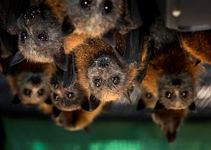 Portrait of rescued and rehabilitated Grey-headed Flying-foxes (Pteropus poliocephalus) that have just been transported to a 'soft-release' enclosure within the Yarra Bend Park colony (Victoria, Austr...  -  Doug Gimesy