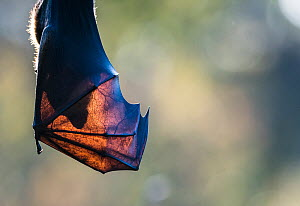 Silhouette of the head of a Grey-headed flying-fox (Pteropus poliocephalus) through its wings. On hot days when resting in trees, flying-foxes will spread their highly vascular wings, thereby allowing...  -  Doug Gimesy