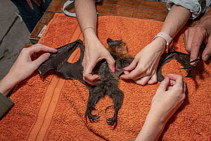 Wildlife rescuers examine the remains of a dead Grey-headed flying-foxes (Pteropus poliocephalus) that was recovered in the field during a heat stress event at the Melbourne colony that day. Yarra Ben... - Doug Gimesy