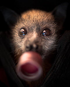 Portrait of a young rescued Grey-headed flying-fox (Pteropus poliocephalus) sucking a dummy from her milk feeding bottle. Fly By Night Bat clinic, Olinda, Victoria, Australia. January, 2017  -  Doug Gimesy
