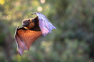 Grey-headed Flying-fox (Pteropus poliocephalus) flying just before sunset. Yarra Bend Park, Kew, Victoria, Australia.  -  Doug Gimesy