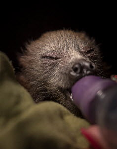Portrait of a young rescued Grey-headed Flying-foxes (Pteropus poliocephalus) sucking a dummy from her milk feeding bottle. Fly By Night Bat clinic, Olinda, Victoria, Australia.  -  Doug Gimesy