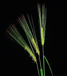 Two row barley (Hordeum vulgare), three spikes flowering with long awns. - Nigel Cattlin