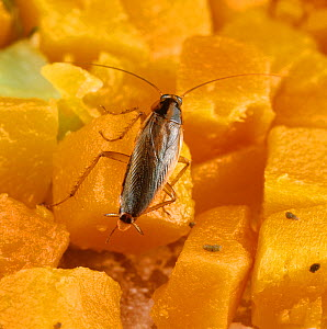 German cockroach (Blatella germanica) on diced Carrot. - Nigel Cattlin