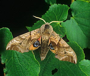 Eyed hawk moth (Smerinthus ocellata) on Lime (Tilia sp) leaves.  -  Nigel Cattlin