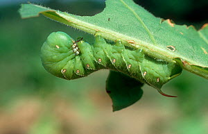 Tobacco hornworm (Manduca sexta) caterpillar feeding on damaged Tobacco (Nicotiana sp) leaf. USA.  -  Nigel Cattlin