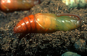 Tobacco hornworm / hawkmoth (Manduca sexta) pupa on soil, a serious Tobacco (Nicotiana sp) pest.  -  Nigel Cattlin
