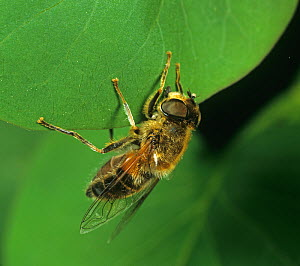 Drone fly (Eristalis tenax), a bee mimic, on leaf. England, UK. - Nigel Cattlin