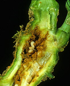 Rape winter stem weevil (Ceutorhynchus picitarsis) larvae in damaged Oilseed rape (Brassica napus napus) stem.  -  Nigel Cattlin