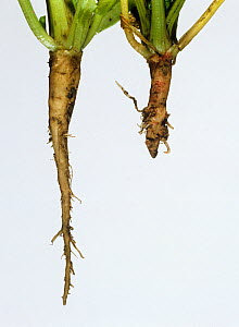 Flat backed millepede (Polydesmus angustus) damage to young Sugar beet (Beta vulgaris). Damaged tap root in comparison to normal undamaged tap root. England, UK. - Nigel Cattlin