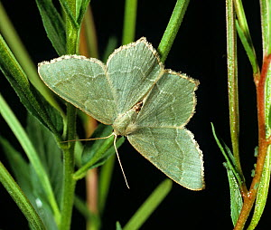 Common emerald moth (Hemithea aestivaria). Berkshire, England, UK.  -  Nigel Cattlin