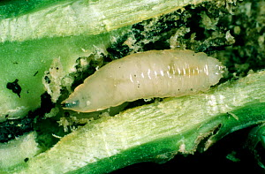 Cabbage root fly (Delia radicum) larvae with frass in damaged Oilseed rape (Brassica napus napus) root. - Nigel Cattlin