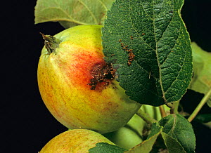 Codling moth (Cydia pomonella) caterpillar exit hole on Apple (Malus domestica) fruit.  -  Nigel Cattlin