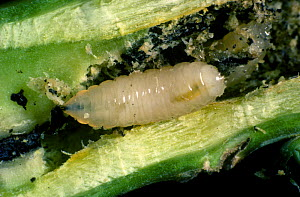 Cabbage root fly (Delia radicum) larva with frass in damaged Oilseed rape (Brassica napus napus) root. - Nigel Cattlin