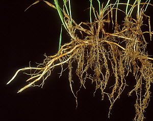 Couch / Twitch grass (Elymus repens) with complex underground root system of rhizomes, a common weed. - Nigel Cattlin