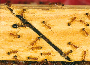 Pharoahs ant (Monomorium pharaonis) colony on timber with workers, queen and larvae. - Nigel Cattlin