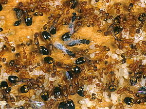 Pharoahs ant (Monomorium pharaonis) colony on timber with workers, winged adults, eggs and pupae. - Nigel Cattlin