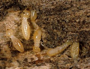 Termite (Reticulitermes sp) workers on damaged wooden skirting board with debris and frass. - Nigel Cattlin