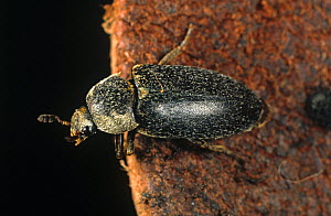 Hide beetle (Dermestes maculatus) on leather, feeds on carrion or dry animal products. England, UK.  -  Nigel Cattlin
