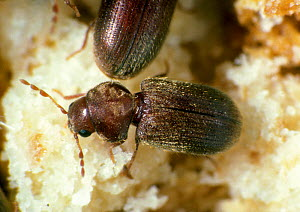 Drugstore beetle (Stegobium paniceum) feeding, a pest of dried plant products and grain debris. - Nigel Cattlin