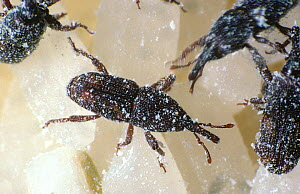 Rice weevil (Sitophilus oryzae) feeding on Rice (Oryza sativa) grains, a pest of stored grain products. - Nigel Cattlin