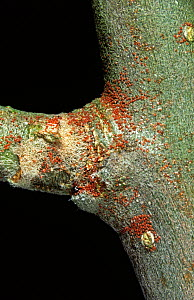 European red mite (Panonychus ulmi) eggs overwintering on Apple (Malus domestica) wood.  -  Nigel Cattlin