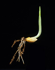 Barley (Hordeum vulgare) seed germinating with roots and coleoptile shoot, first leaf emerging at top. - Nigel Cattlin